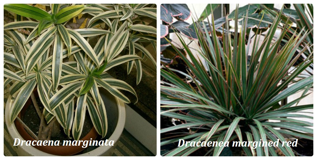 collage_dracena3.jpg (242.21 Kb)