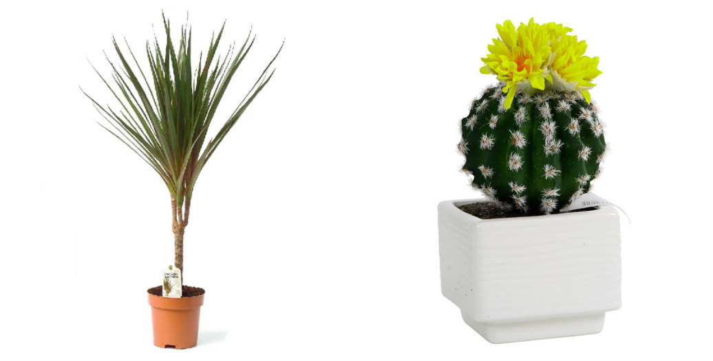 collage_dracena_-kaktus.jpg (69.8 Kb)