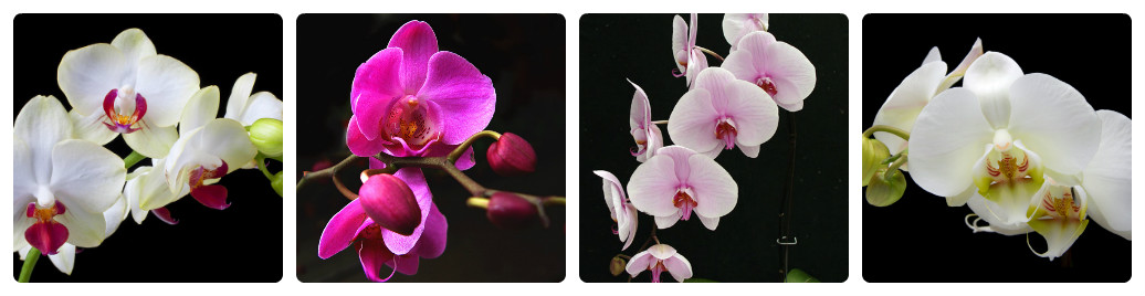 collage_felanopsis1.jpg (76. Kb)