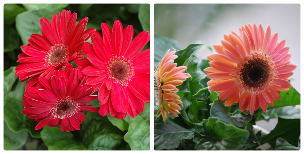 collage_gerbera1.jpg (178.6 Kb)