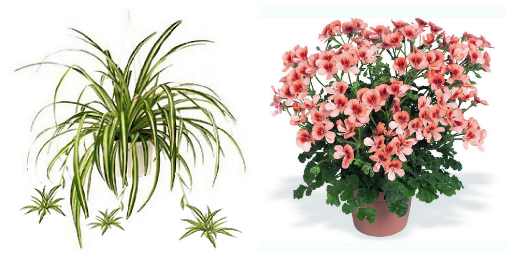 collage_hlorofitum-pelargoniya.jpg (163.83 Kb)