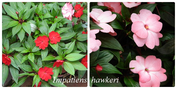 collage_impatiens_hawkeri.jpg (93.4 Kb)