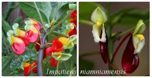 collage_impatiens_niamniamensis.jpg (69.02 Kb)