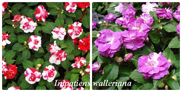 collage_impatiens_walleriana.jpg (114.76 Kb)
