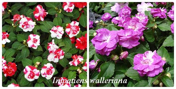 collage_impatiens_walleriana.jpg (114.76 Kb)