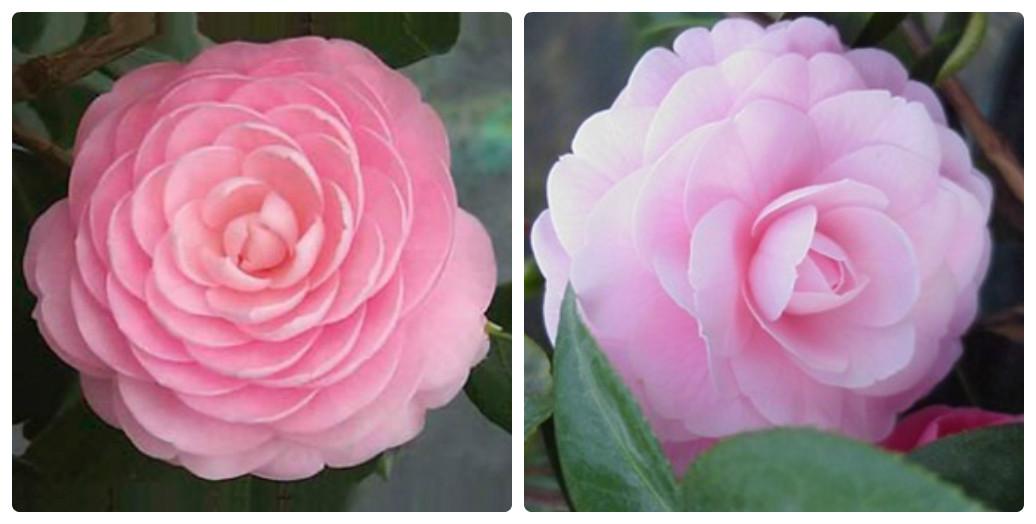 collage_kameliya_pink_perfection.jpg (101.54 Kb)
