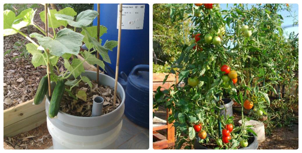 collage_ogirki_pomidori_v_konteineri.jpg (224.79 Kb)