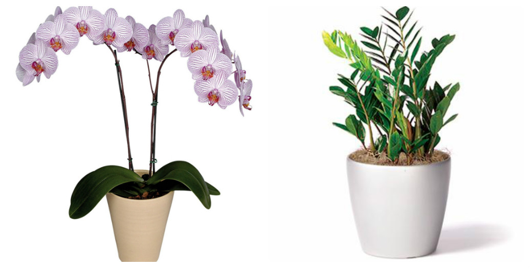 collage_orhideya-zamiokulkas.jpg (93.34 Kb)