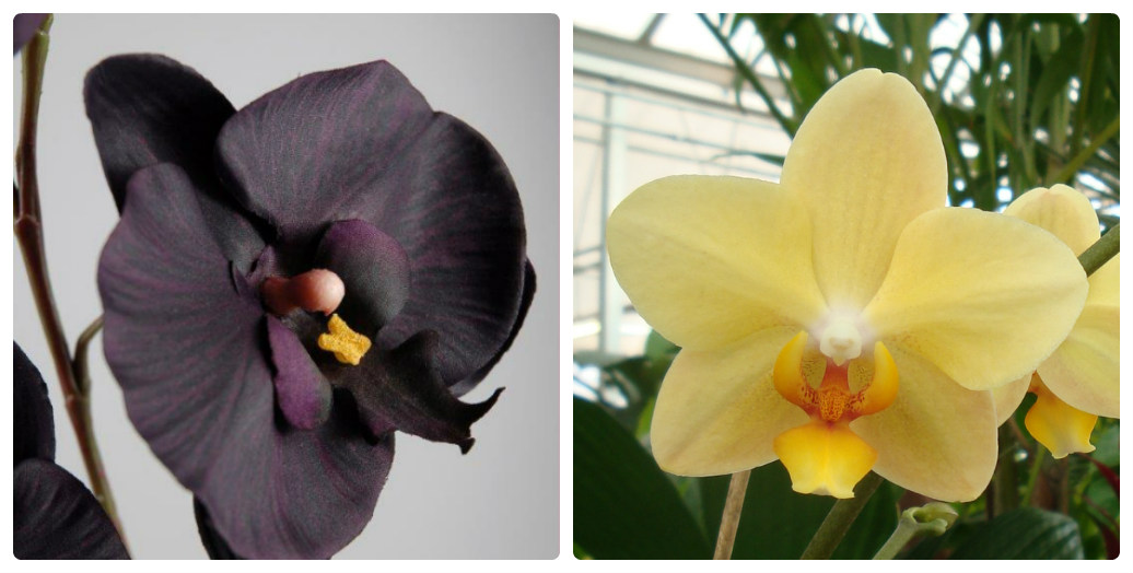 collage orhideya1.jpg (113.92 Kb) Орхідеї відносять до примхливих квітів 9bf382a3897c2