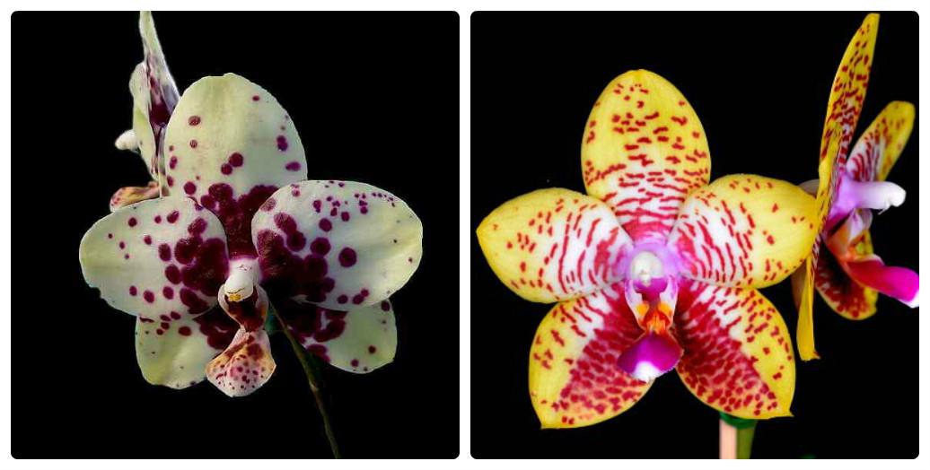 collage_orhideya2.jpg (125.7 Kb)