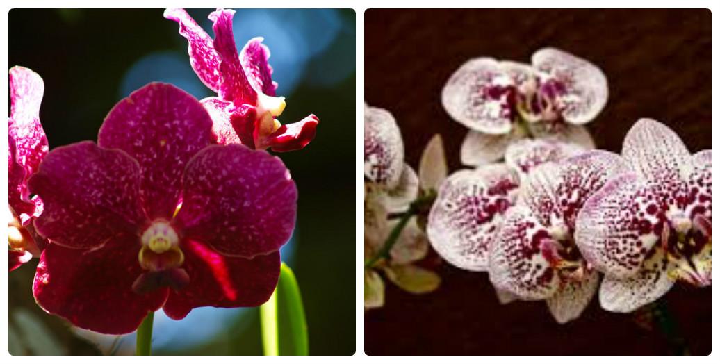 collage_orhideya5.jpg (139.75 Kb)