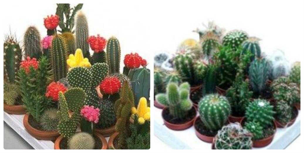collage_pustelni_kaktusi123.jpg (135.79 Kb)