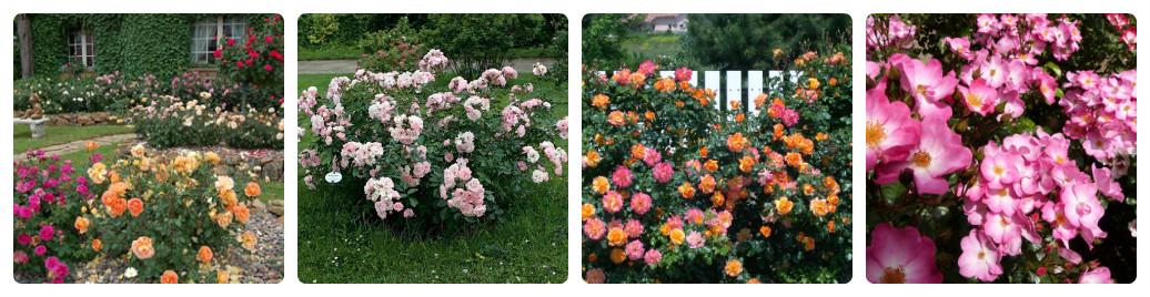collage_shrabovi-rozi.jpg (166.24 Kb)