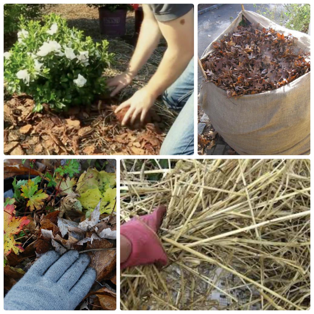 Как сажать хризантемы осенью в саду 57