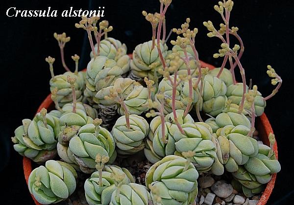 crassula_alstonii.jpg (118.95 Kb)