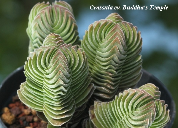 crassula_cv__buddhas_temple.jpg (106.29 Kb)