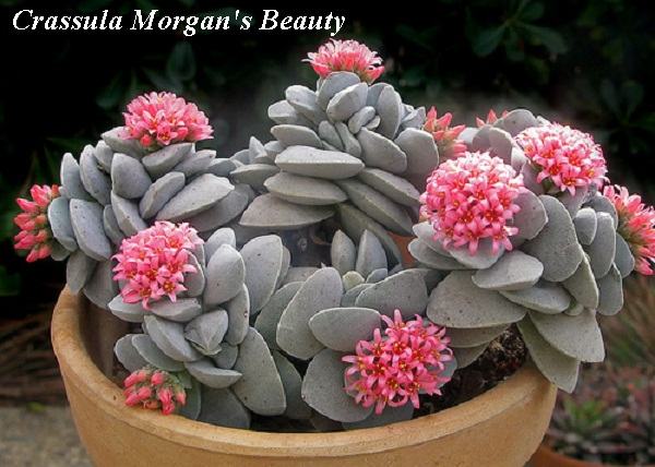 crassula_morgans_beauty.jpg (110.71 Kb)