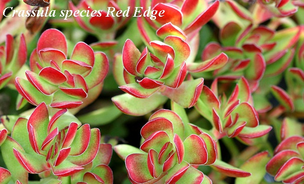 crassula_species_red_edge.jpg (107.37 Kb)