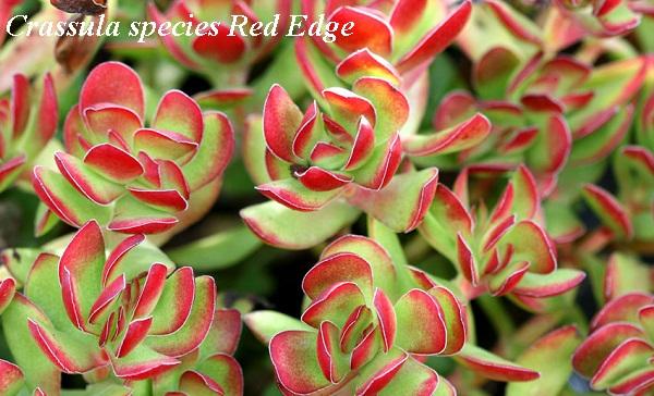 crassula_species_red_edge.jpg (107.37 Kb)