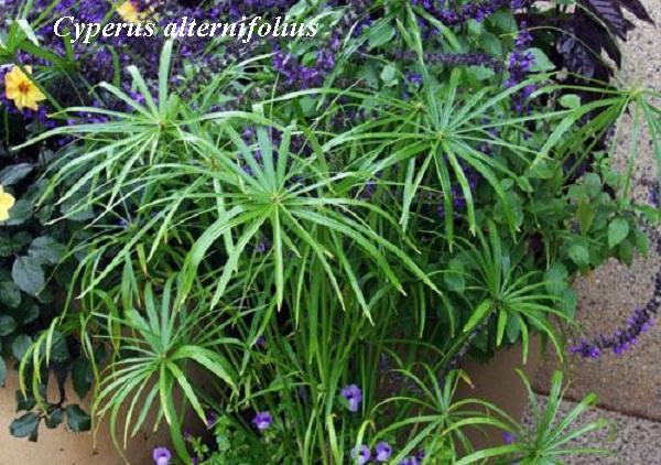 cyperus_alternifolius.jpg (142.24 Kb)