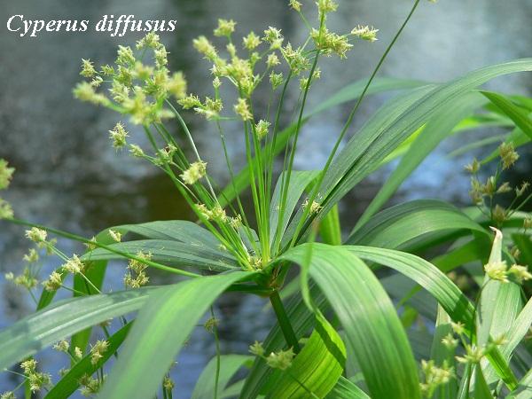 cyperus_diffusus.jpg (128.25 Kb)