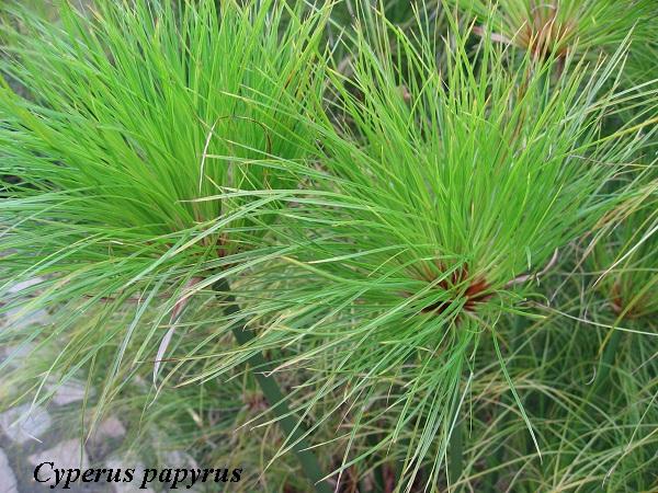 cyperus_papyrus.jpg (189.12 Kb)