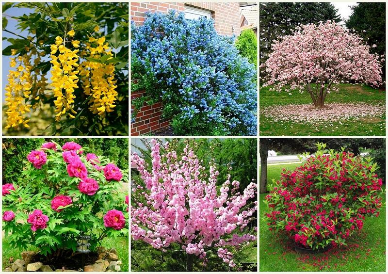 Невибагливі квітучі чагарники, які варто посадити в себе на ділянці. Частина 2
