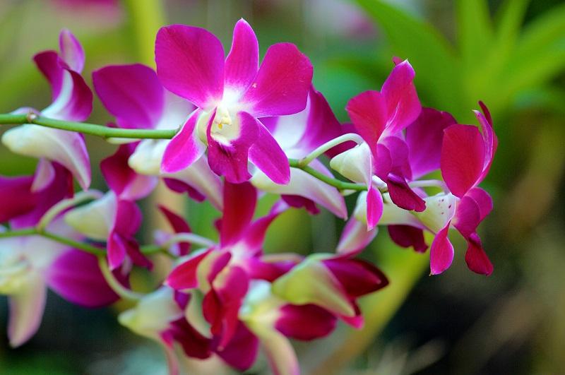 Догляд за орхідеєю Дендробіум