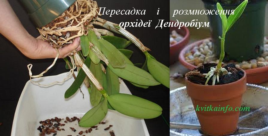 Як розмножувати і пересаджувати орхідею Дендробіум