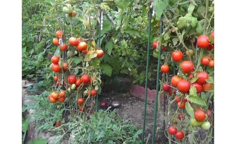 determinantni_pomidori.jpg (1.41 Kb)