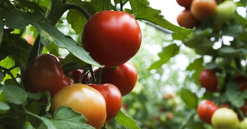 Детермінантні сорти помідорів (томатів)
