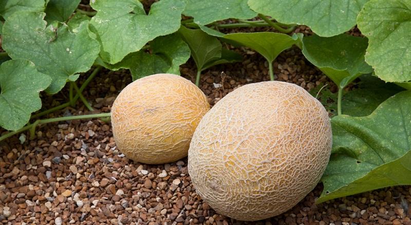 Диня: вирощування, догляд