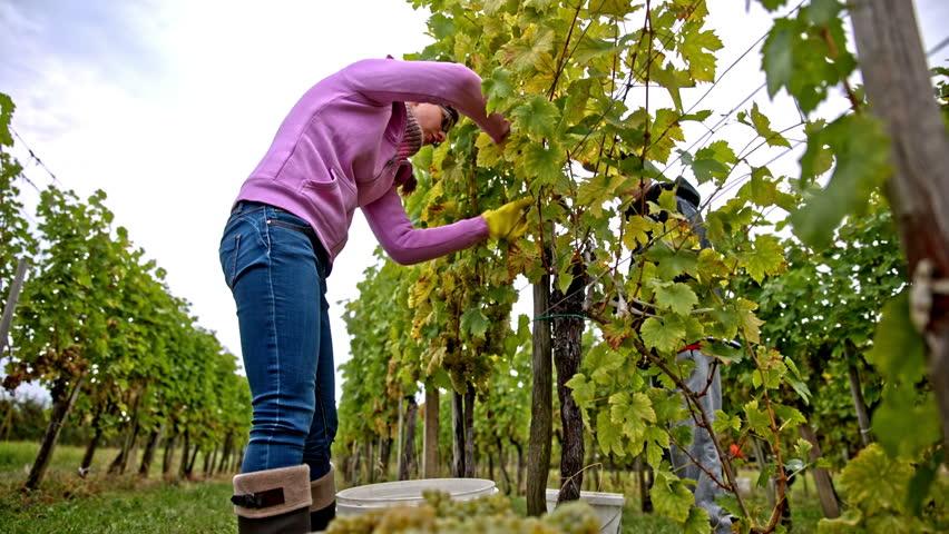 Догляд за виноградом в серпні