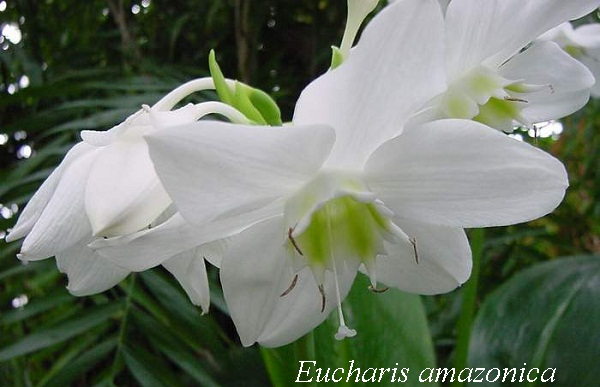 eucharis_amazonisa.jpg (67.86 Kb)