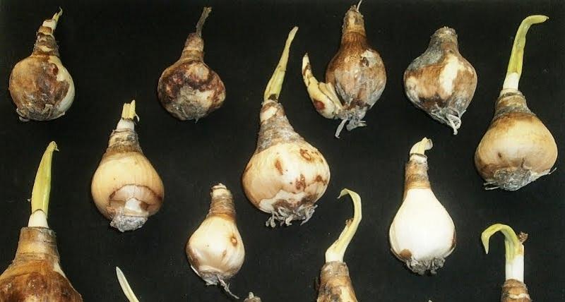 eucharis_bulbs.jpg (94.96 Kb)