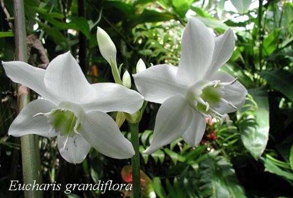 eucharis_grandiflora1.jpg (115.09 Kb)