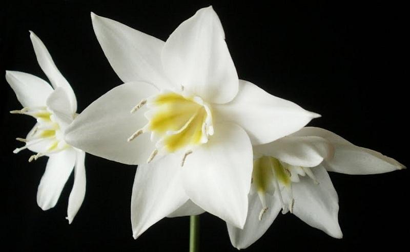 eucharis_grandiflora_doglyad.jpg (69.25 Kb)