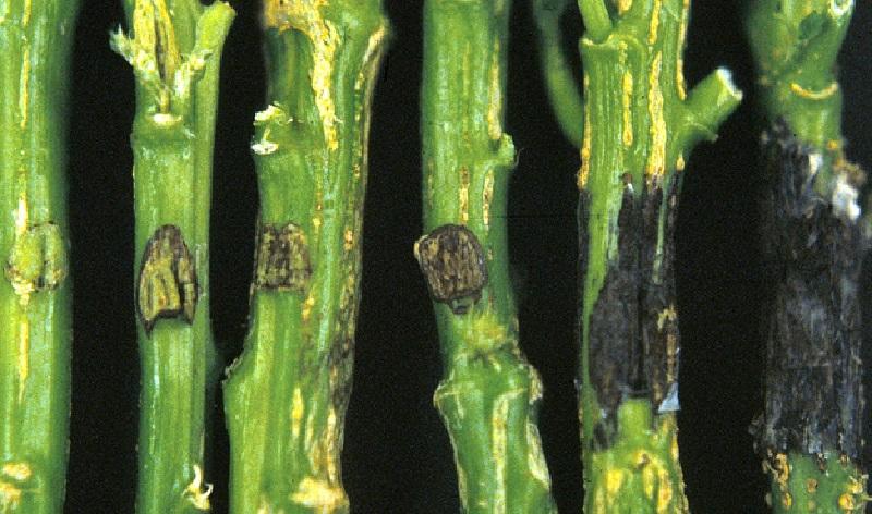 Фузаріоз ознаки захворювання та методи боротьби
