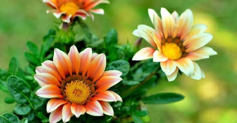 Газанія (гацанія) види, вирощування, догляд