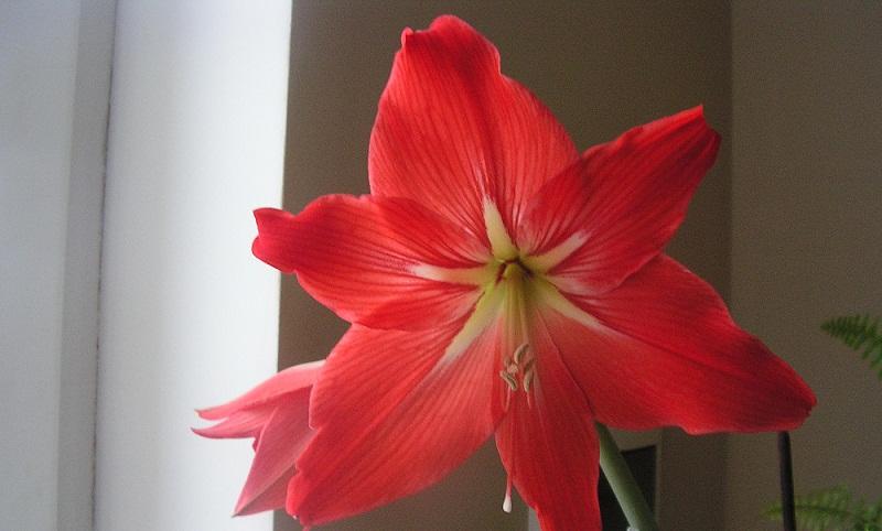 Чому не цвіте гіпеаструм