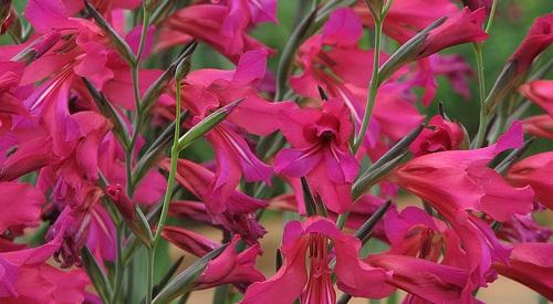 gladiolus_byzantinus.jpg (70.11 Kb)