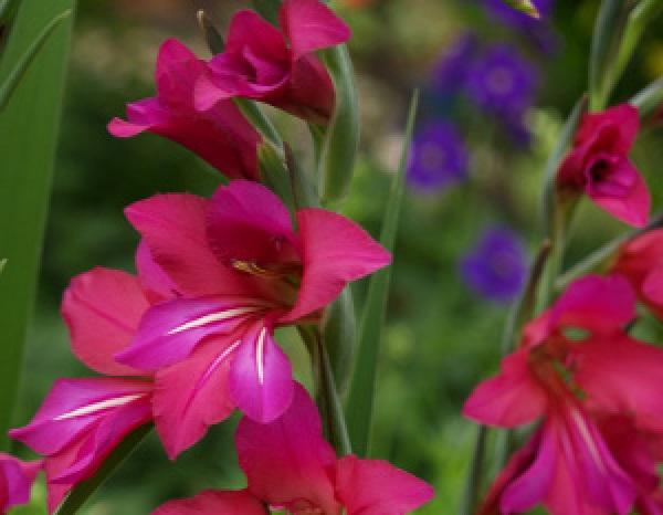 gladiolus_communis.jpg (65.7 Kb)