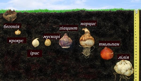 glibina_visadzhuvannya_cibulin.jpg (110.46 Kb)