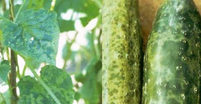green_speckled_mosaic_cucumbers.jpg (89.34 Kb)