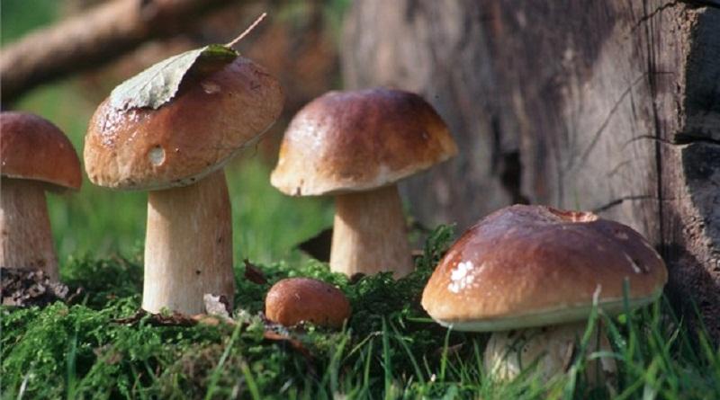 Як виростити лісові гриби в саду