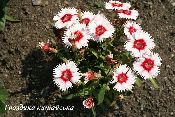 gvozdika_kitaiska.jpg (136.88 Kb)