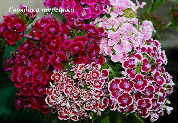 gvozdika_turecka.jpg (174.98 Kb)