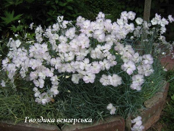 gvozdika_vengerska_perista.jpg (160.74 Kb)