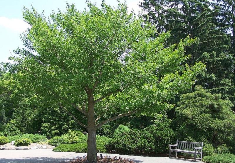Цілющі рослини: гінкго білоба