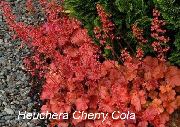 heuchera_cherry_cola_7.jpg (136.63 Kb)
